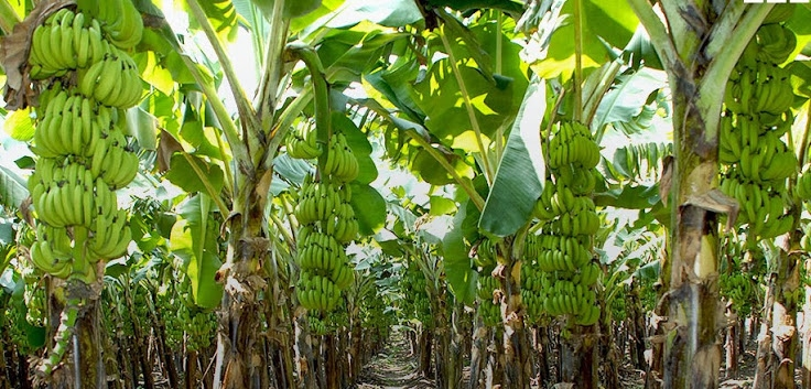 Agriculture Ministry selects Goalpara for banana cultivation