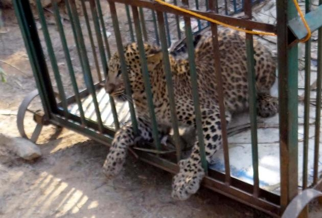 Leopard trapped, later released