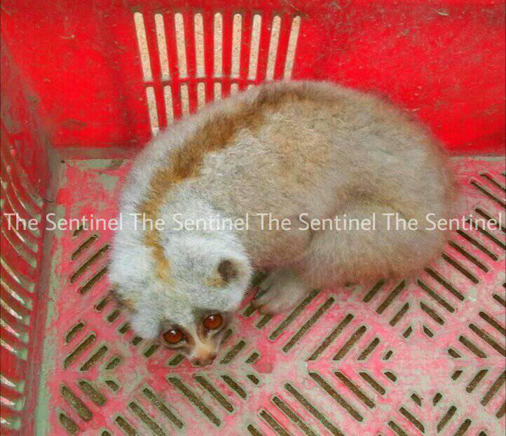 Slow Loris Recovered in Lakhimpur
