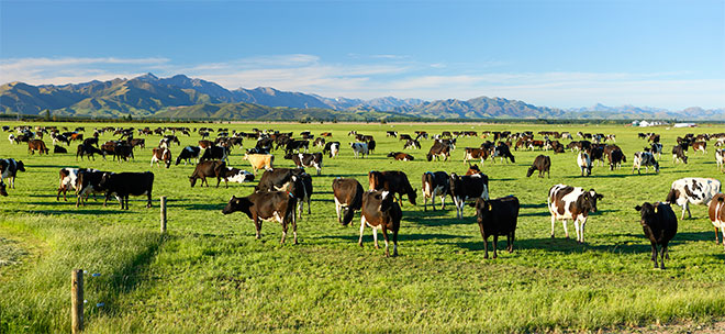 MB Costs 1,50,000 Lives of Cows in New Zealand