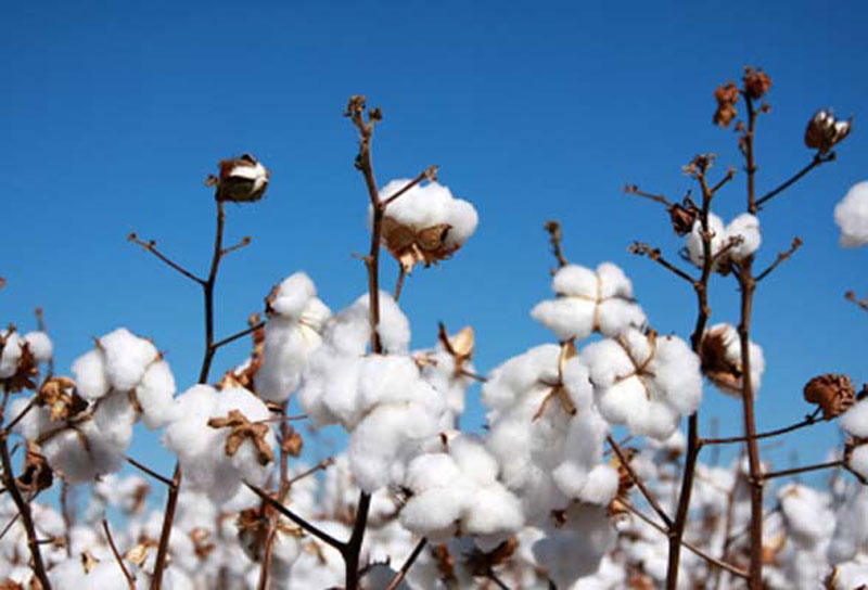 Demand for eco-friendly fabrics propels organic cotton farming