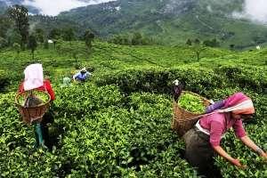 Tea gardens located in Assam, Darjeeling, stare at 22 percent loss in revenue