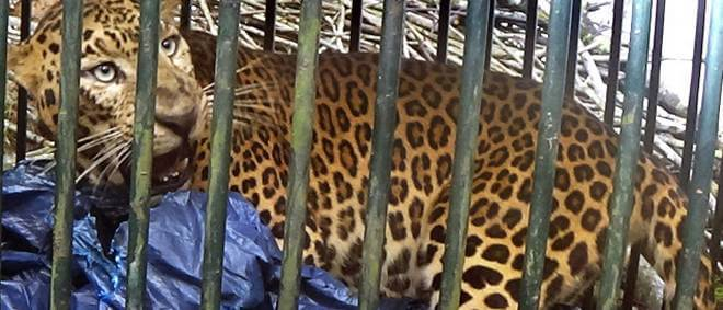 Leopard caught, later released