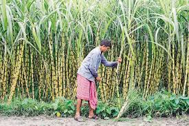 Rs 7,000-crore bailout package for sugarcane farmers