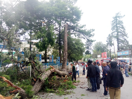 Tree causing danger to human felled in city