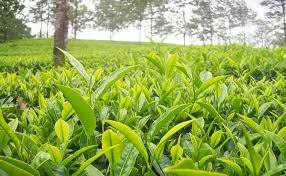 Tea production down by 7.21%,exports up marginally