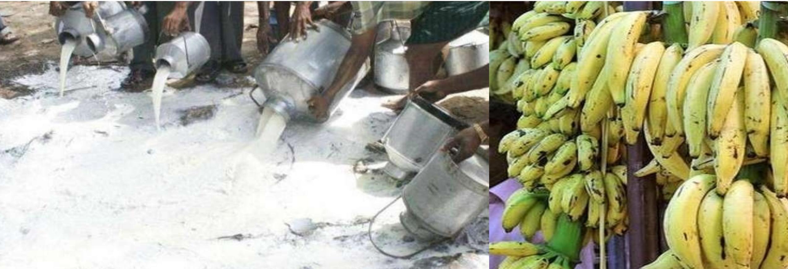 Banana, milk destroyed