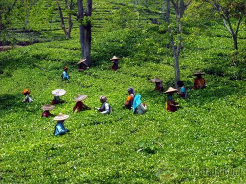BJP Tea Morcha seeks probe into sale of tea gardens