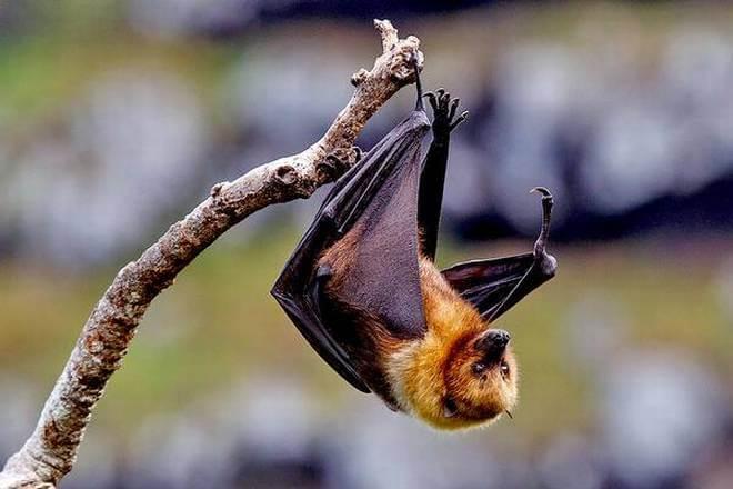 Fruit bats identified as source of Nipah virus spread