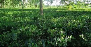 Small tea growers demand hike in rate of green leaves
