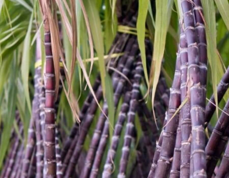 Government increases sugarcane Fair and Remunerative Price to Rs 275