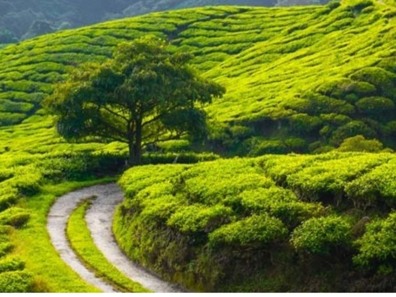 Tea production down 9.5%, exports up 4%