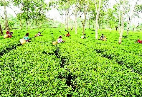 Training programme for small tea growers