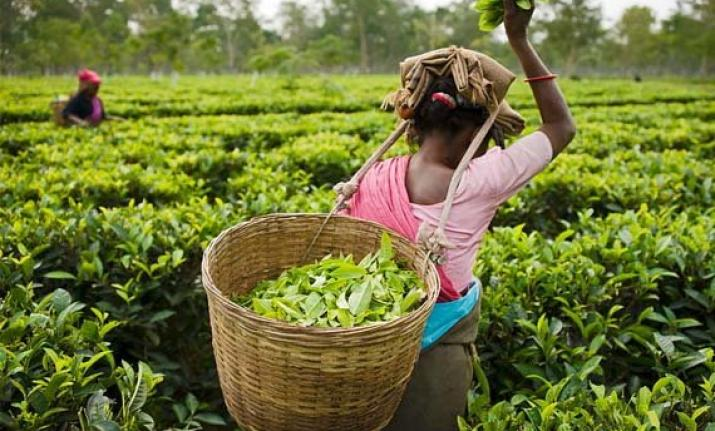 Pay equal wages to tea workers  in Brahmaputra & Barak: Chief Minister of Assam