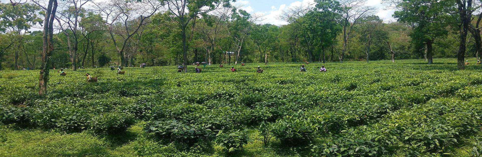 Tripura Tea Development Corporation to Set Up own Tea Auction Centres