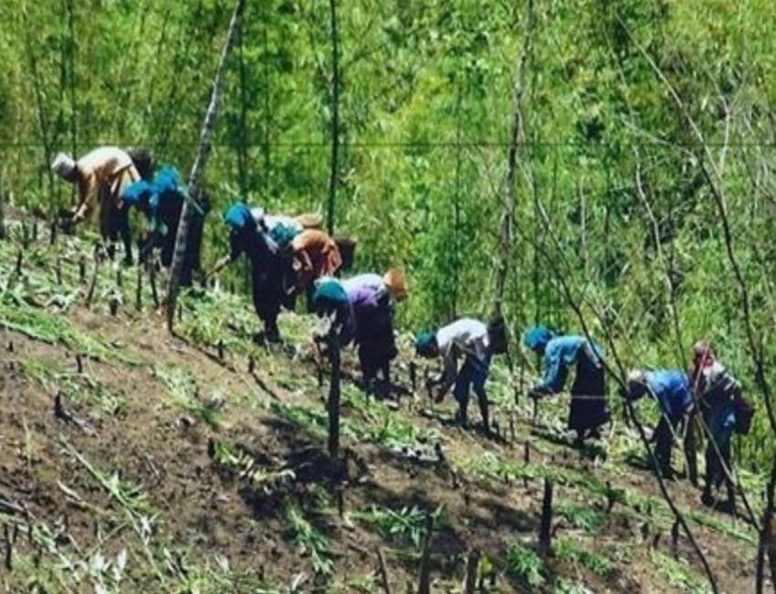 shifting cultivators