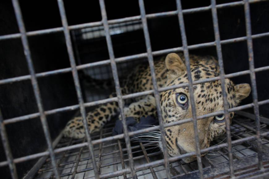 Leopard captured in Golaghat District