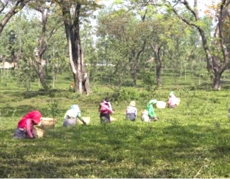 Unions urged to bring normalcy in tea gardens
