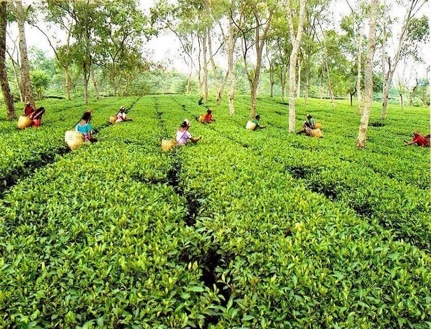 Assam Chah Mazdoor Sangha (ACMS) slams small tea growers for 'depriving' tea workers