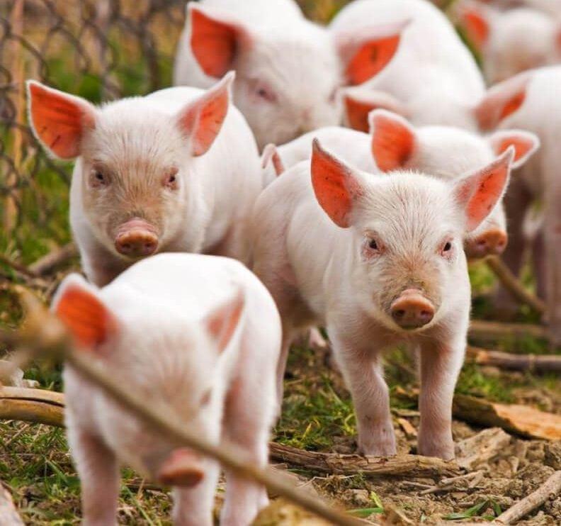 Live Pigs