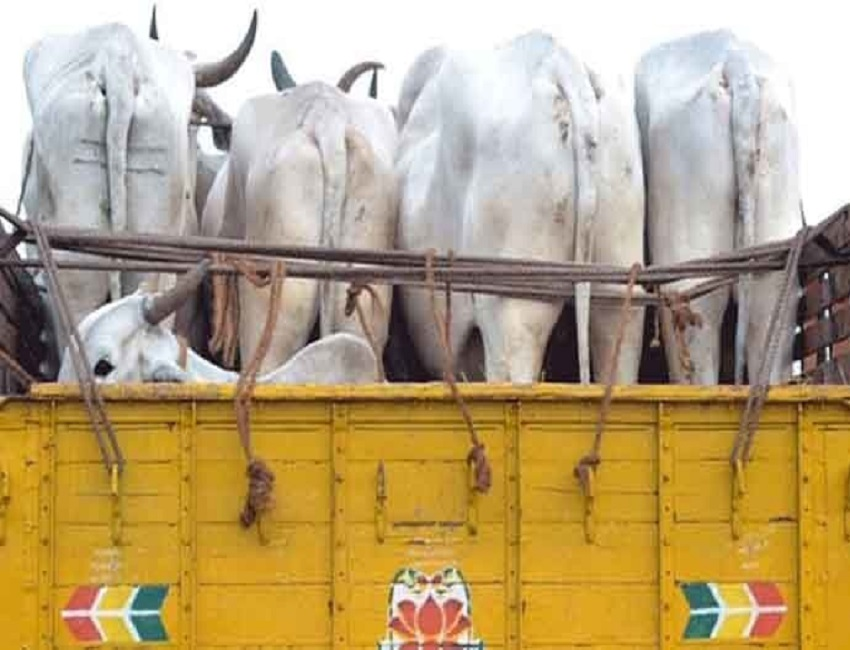 Smuggled  cattle recovered from truck