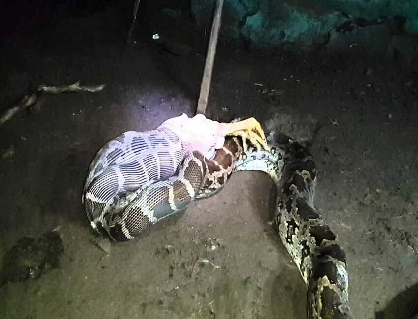 Python rescued in Udalguri district