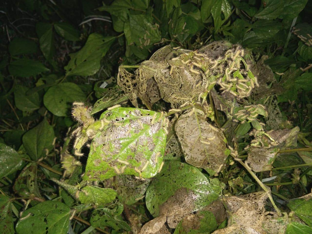 Black gram crops in Dhakuakhona under attack of insects