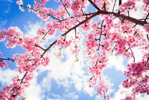 Cherry Blossoms Setting Stage for International Fest in Shillong