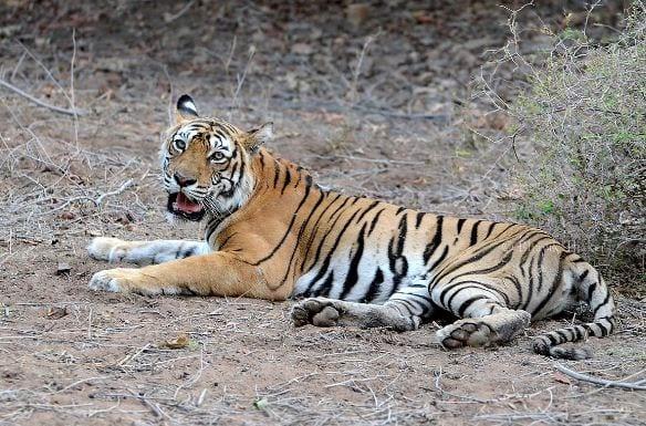 'Tigress Sundari to be shifted to Nandankanan Zoological Park '