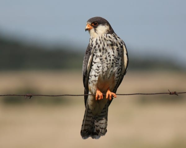 Migratory Amur FalconManipur Hunted down by Miscreants