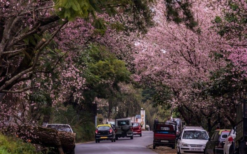 Manipur: Cherry Blossom cum Flower Festival gets underway