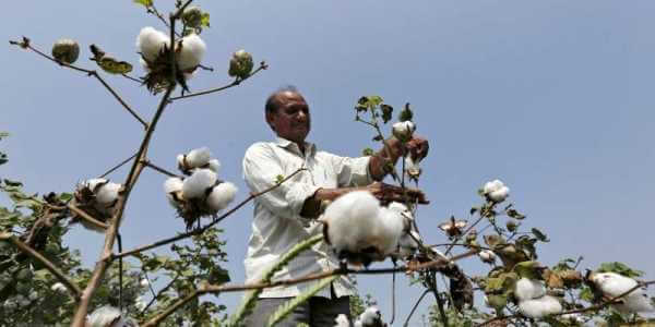 Industry Body Slashes Cotton Output Projection to 343.25 Lakh Bales