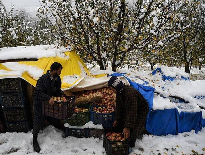 First Seasonal Snowfall in Kashmir caused Heavy Damage to Apple Orchards