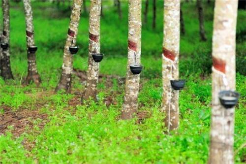 Tripura to set up Rubber Processing Factory