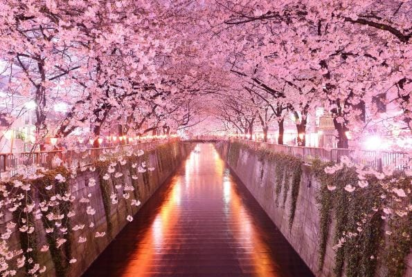 India International Cherry Blossom Festival from today at Shillong
