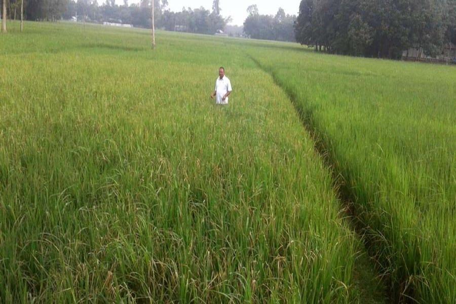 Pests attack paddy fields in Tripura, farmers seek immediate preventive measures