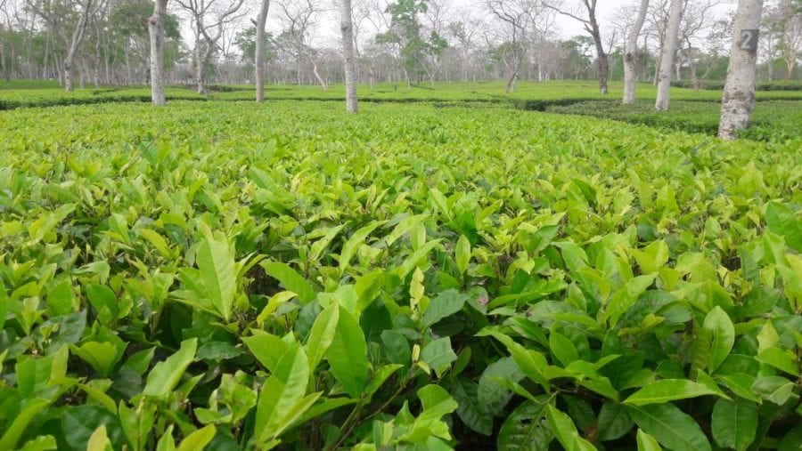 Mamata Appeals Tea Gardeners to Think About Tourism