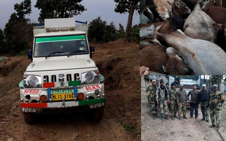 BSF seizes Huge Cattle with Bolero pickup van at Meghalaya
