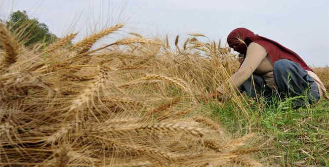 Price of paddy in open market increases as FCI starts procurement