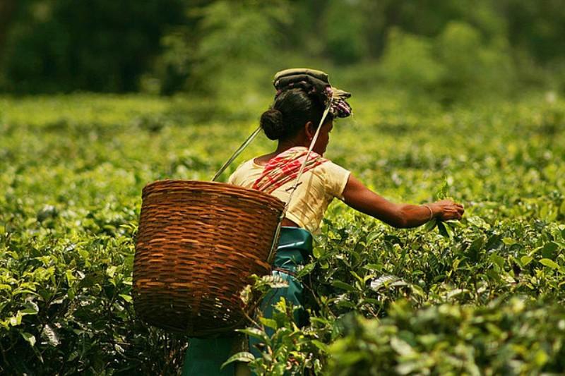 Improve Tea Garden Conditions: Assam Chah Mazdoor Sangha (ACMS)