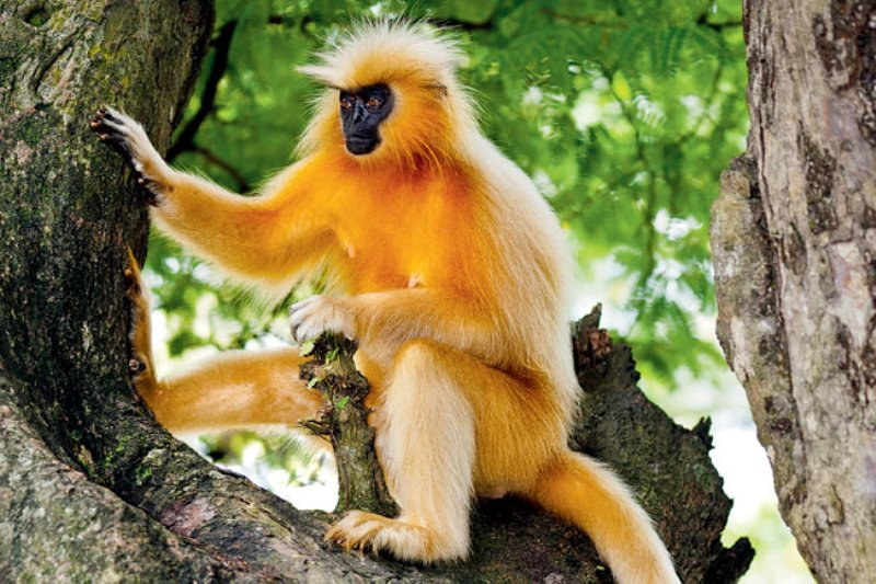 Golden Langur Hope For Assam State Zoo, Guwahati