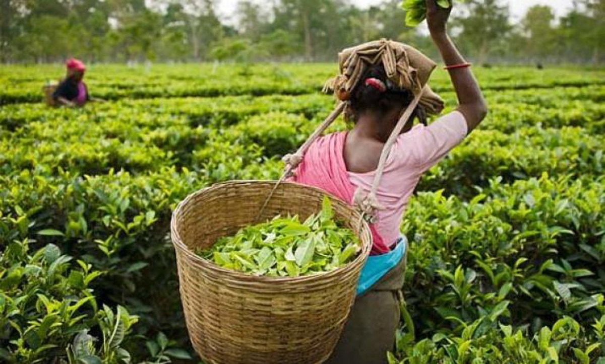 Tea production down 6.5% during November in 2018