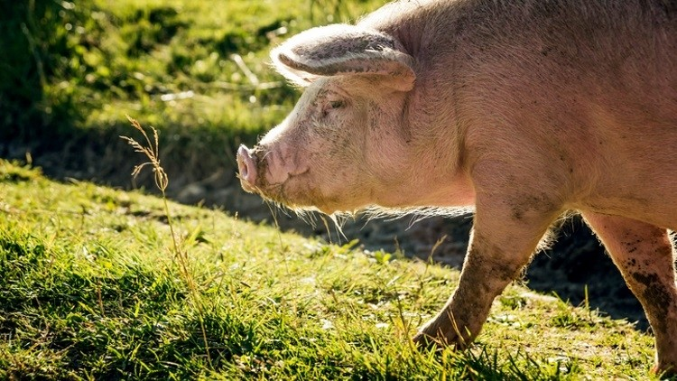 Mizoram bans Pig and piglets import to prevent swine flu