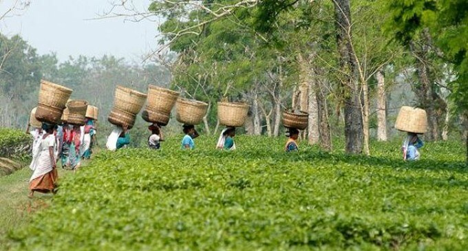 Assam Government distributed Cheques to tea workers