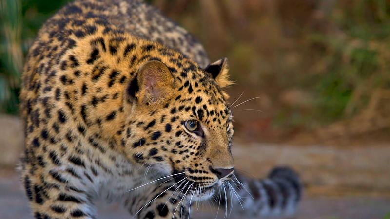 Leopard attacks former headmaster of Dighalibil High School in Naharkotia