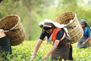 small tea growers