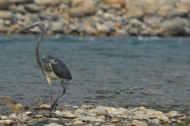 Critically endangered white-bellied heron spotted in Kamlang