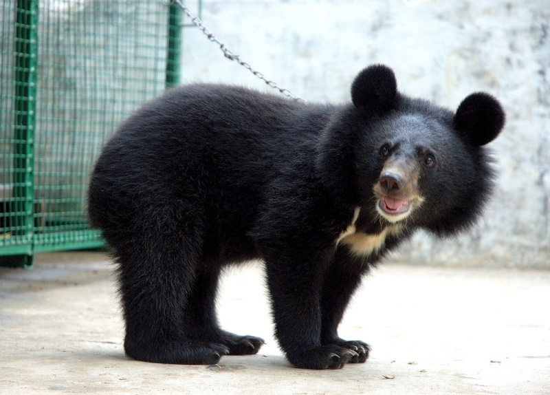 Assam State Zoo Welcomes 2 Himalayan Black Bear Cubs