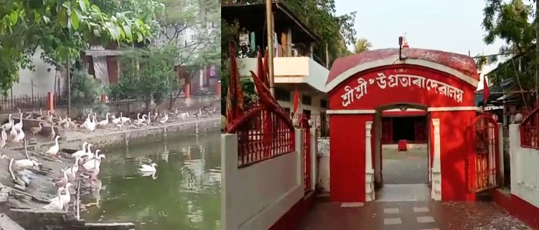Unnatural death of 10 ducks at Ugratara Temple raised concern, Trust appeals for Government Support