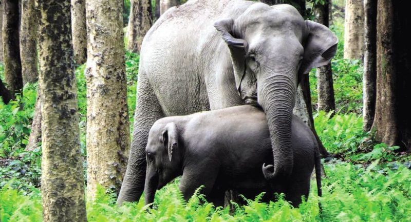 Gentle Giant In Danger: Over 300 Elephants From Assam Trafficked To Toil Outside